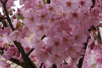 我が家の桜満開.jpg